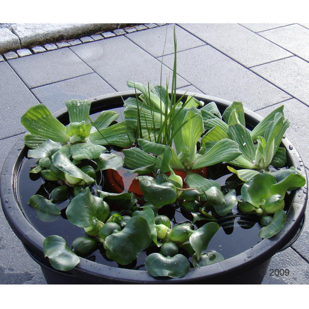 de kleine vijveroase     15 planten
