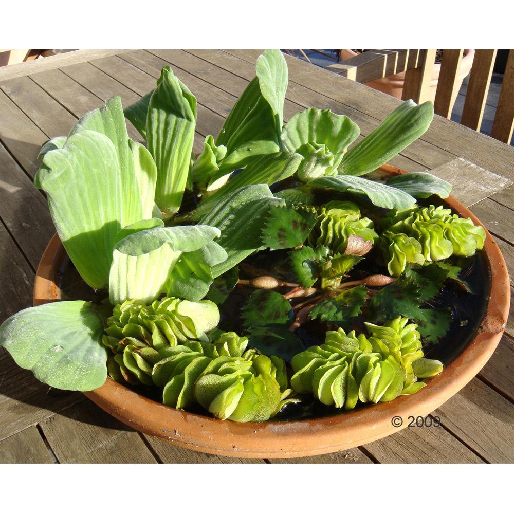 de kleine vijvernimf     11 planten