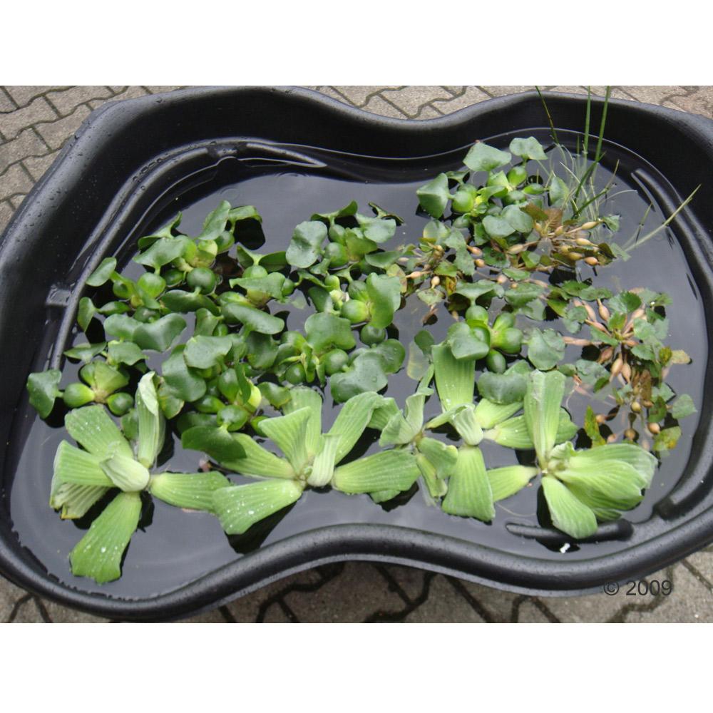 de  grote vijveroase lotus     62 planten