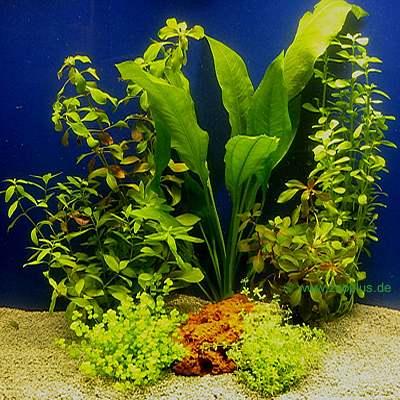 aquariaplanten assortiment voor 60 cm aquaria     7 topplanten