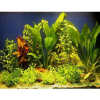 aquariaplanten assortiment voor 100   120 cm aquaria     15 topplanten