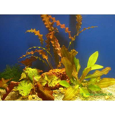 aquariaplanten enkele planten set     3 topplanten