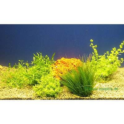 aquariaplanten voorgrond assortiment     5 topplanten