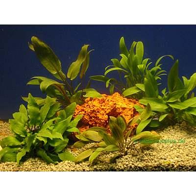 aquariaplanten waterbloemkelk assortiment     5 topplanten