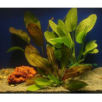 aquariaplanten moerasweegbree gekweekt set     3 topplanten