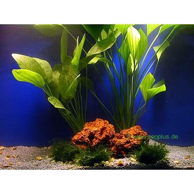 aquariumplanten amazonas moederplanten set     2 topplanten