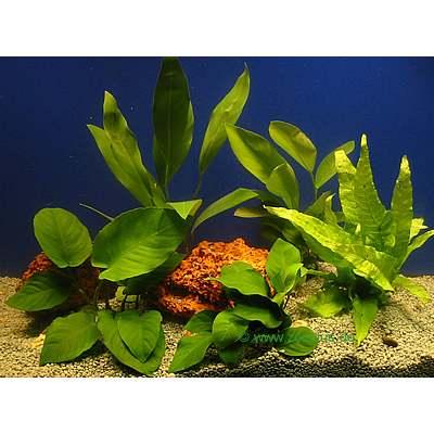 aquariaplanten baars assortiment     5 topplanten