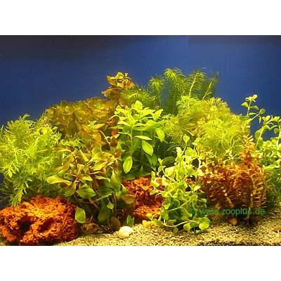 aquariaplanten bundel planten assortiment     10 bundel planten
