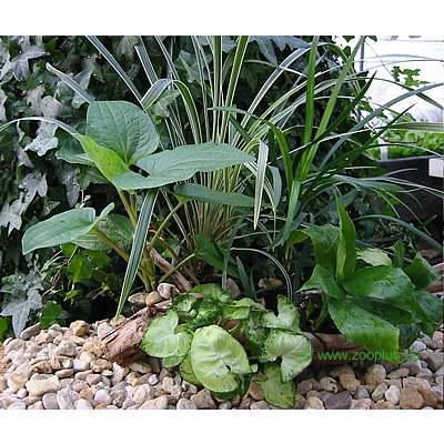 terrariumplanten assortiment     5 planten
