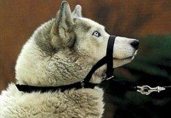 halti anti trek halster zwart      maat 1 (terrier, tekkel)
