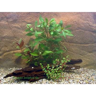 aquariaplanten set met rossige planten     3 plantensoorten