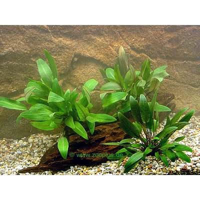 Aquariaplanten  cryptocorynen voorgrond set     3 planten van kantoor artikelen tip.