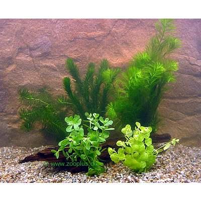 aquariumplanten goudvisbassin bundel planten set     5 verschillende plantensoorten