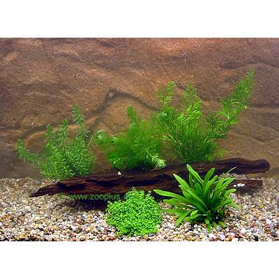 aquariumplanten garnalen en dwergkreeft assortiment     5 plantensoorten