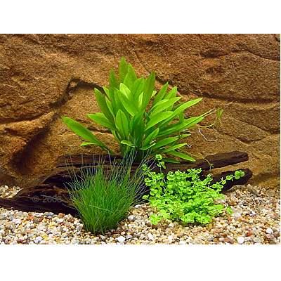 aquariumplanten kleine garnalen set     3 plantensoorten