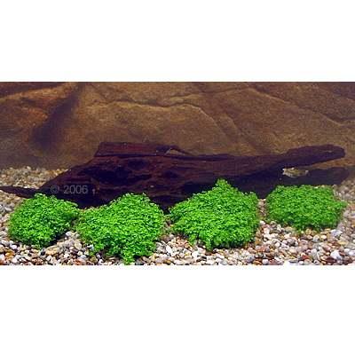 aquariumplanten garnalen japan style     4 planten