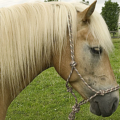 knopenhalster voor paarden     beige/marine/bourgond