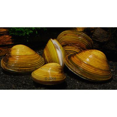 aziatische mandjesmossel   corbicula fluminea     5 mosselen