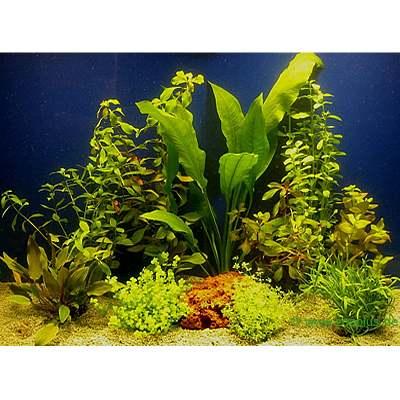 aquariaplanten assortiment voor 80 cm aquaria     10 topplanten