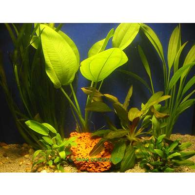 aquariaplanten discus assortiment     6 topplanten