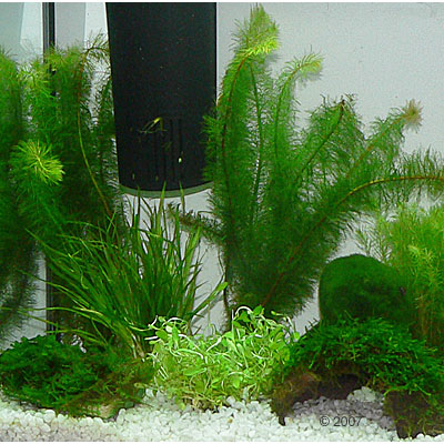 aquariumplanten zooplants garnalen aquarium     10 planten