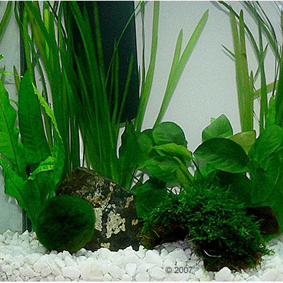 aquariaplanten zooplants kreeft aquarium     8 planten