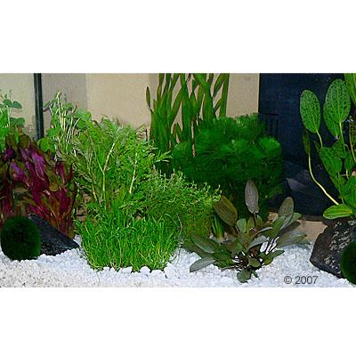 aquariumplanten zooplants gezelschapsaquarium     15 planten