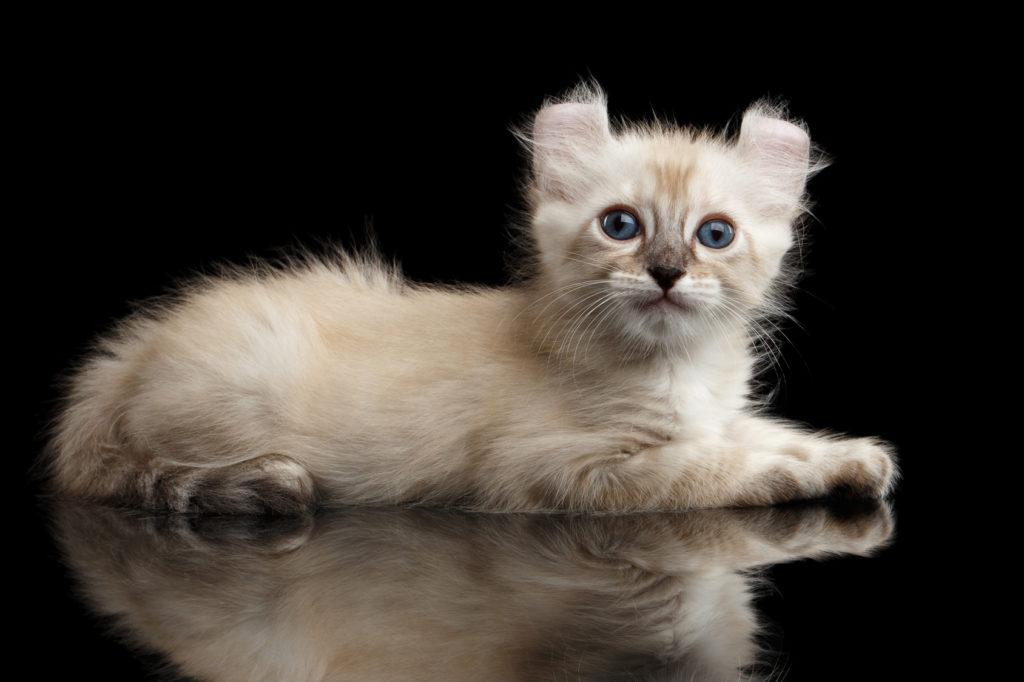 american curl kitten cremefarbe
