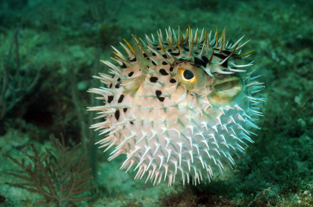Kogelvis in een aquarium