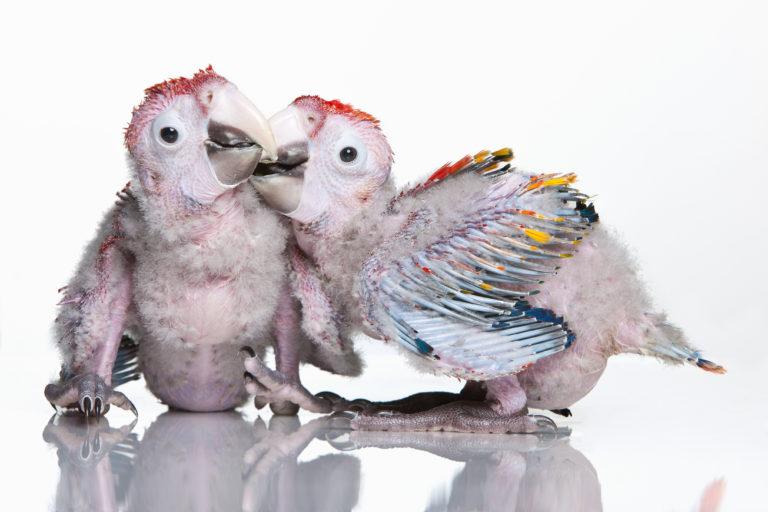 Geslachtsbepaling bij papegaaien en parkieten