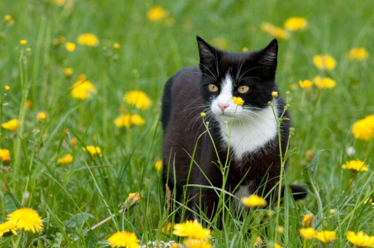 Zwart-witte kat in grasveld