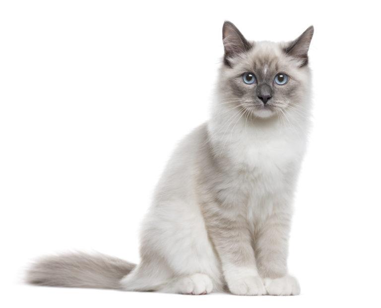 Neva Masquerade - lees meer over dit prachtige kattenras | zooplus