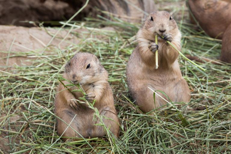 De juiste voeding voor prairiehonden