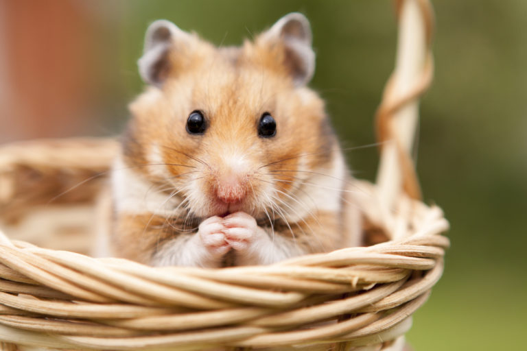 Hamstertaal