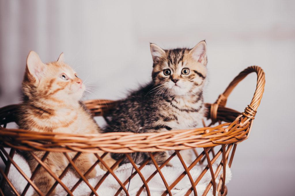 geslacht van een kitten bepalen