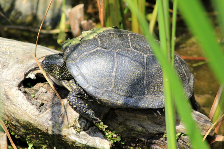 Water- en moerasschildpadden