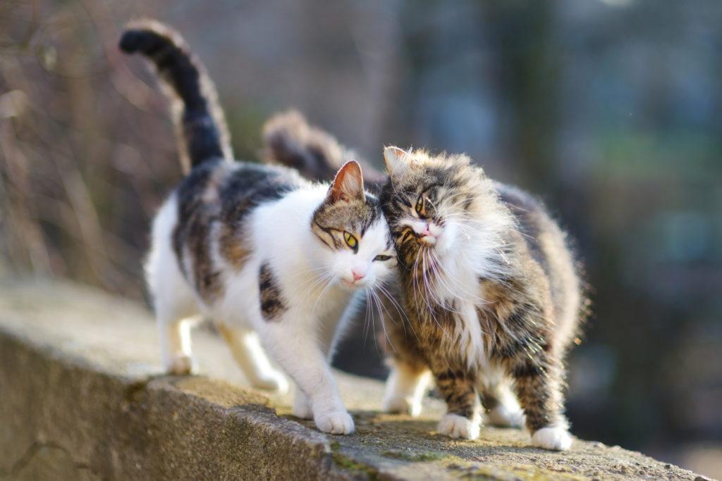 Twee liefkozende katten