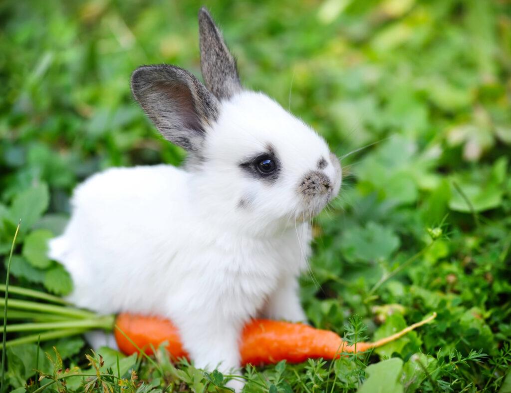 groenvoer konijn