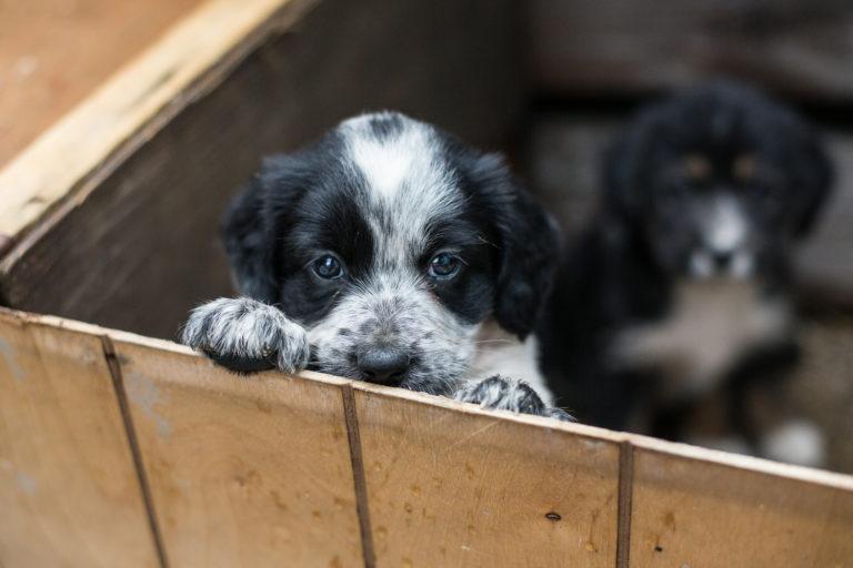 een puppy uit het asiel adopteren