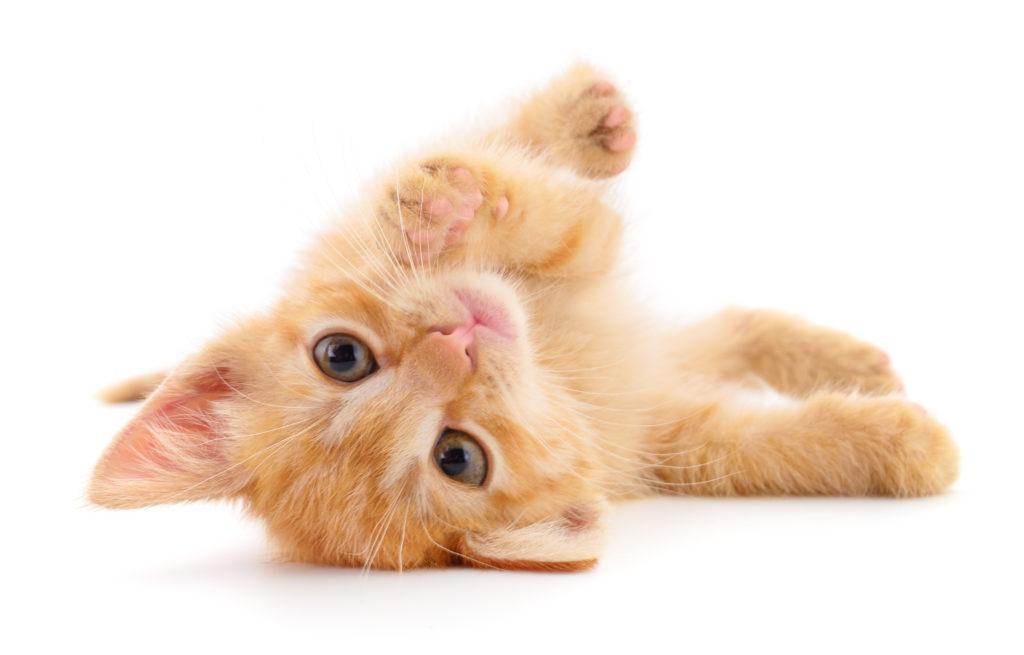 kattenvoer voor een kitten