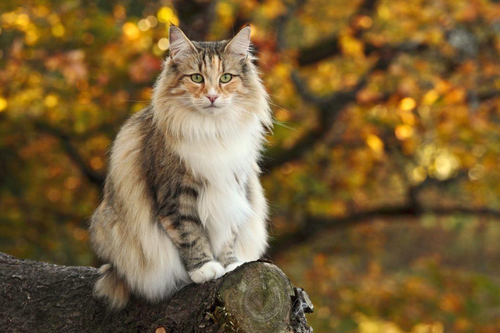 Noorse Boskat op boomstam