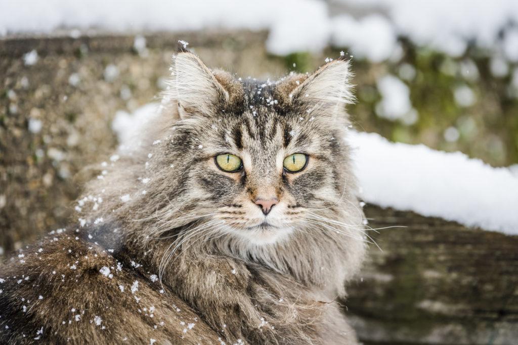 Noorse Boskat sneeuw