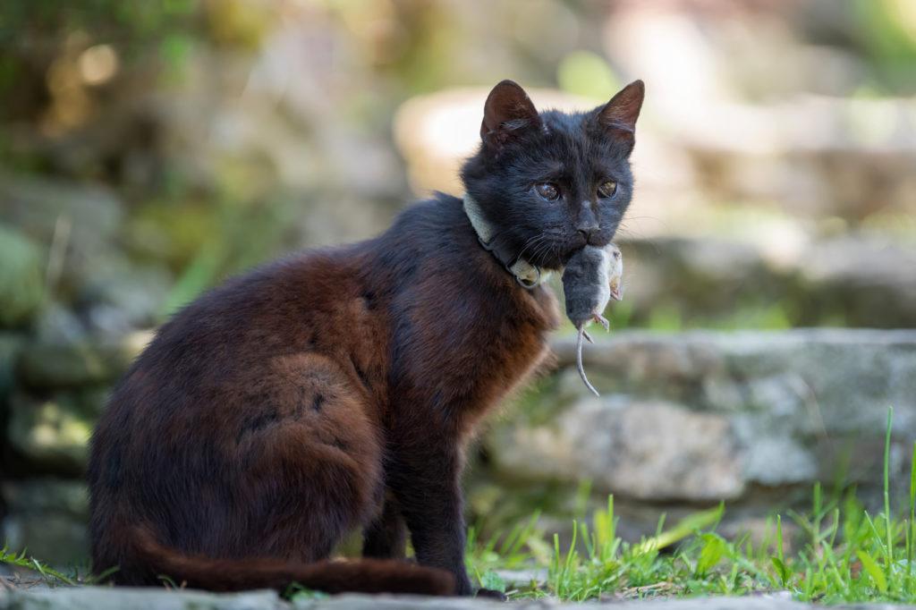 katten jagen