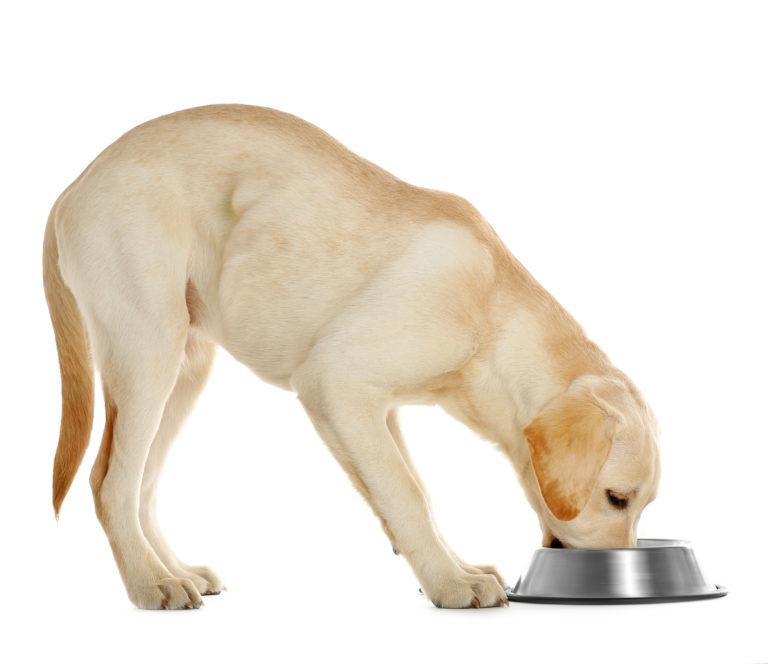 de juiste voeding voor de labrador retriever
