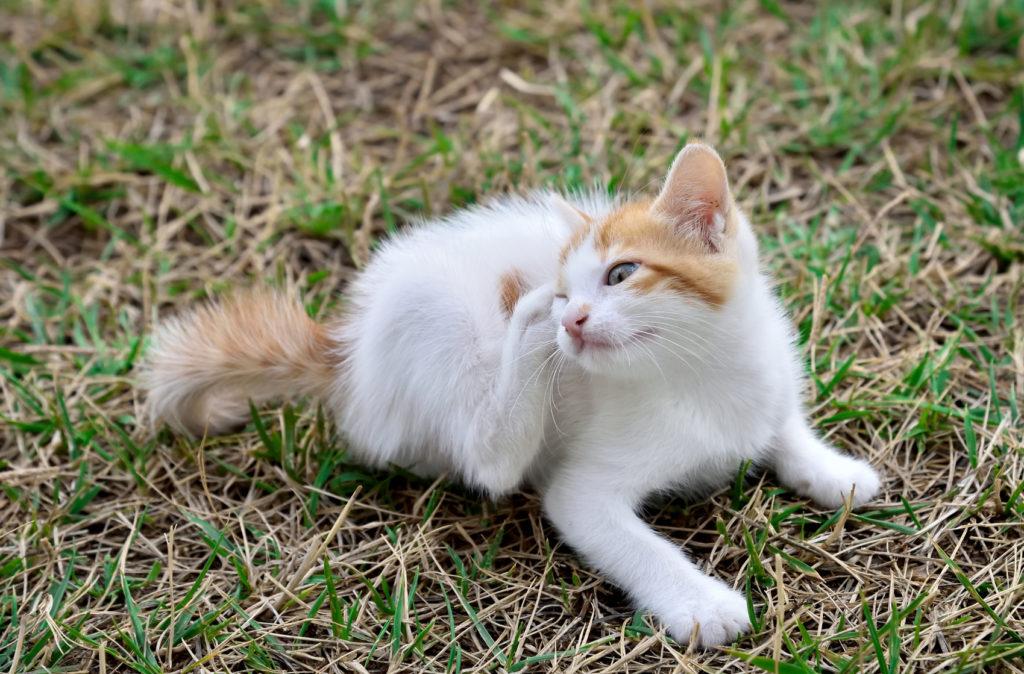 Vacht- en huidaandoeningen bij katten