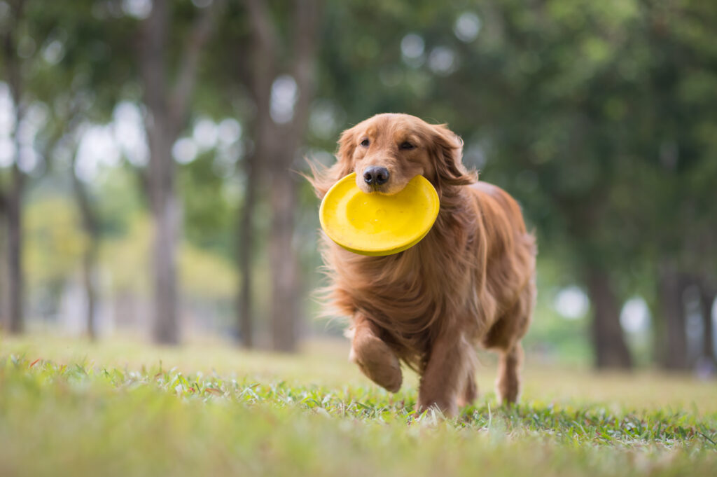 golden retriever frisbee