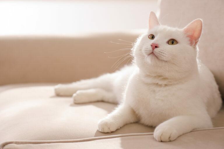 Kat met artrose
