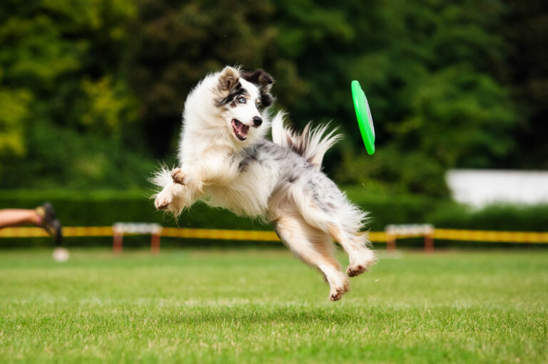 Border collie vangt in frisbee in de lucht