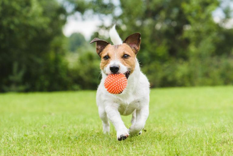 Hond met bal rennen