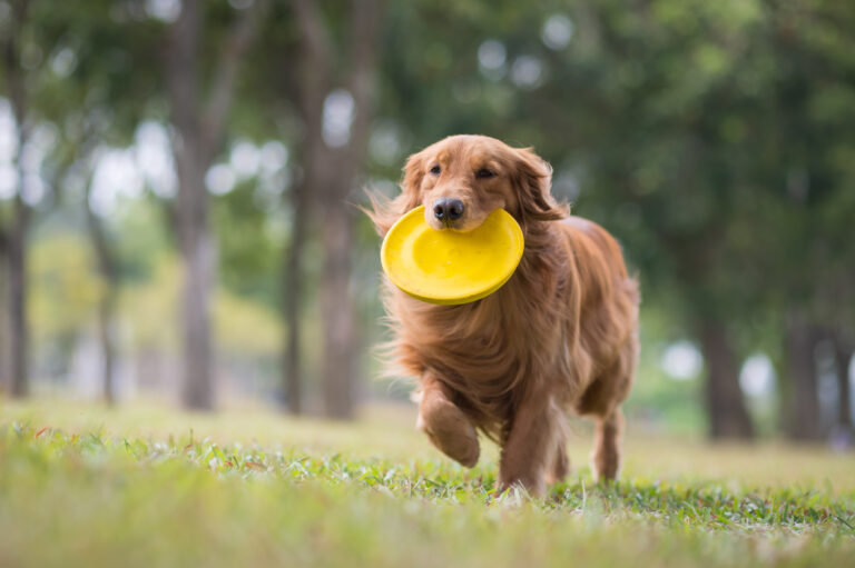 golden retriever met frisbee